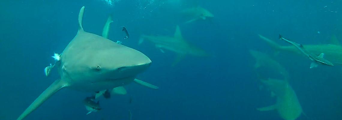Slider Featured Image – Sharks